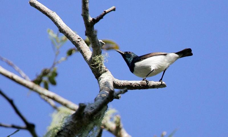 Amani Sunbird - Nettarinia di Amani