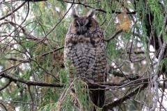 Abyssinian Owl - Gufo africano o Gufo d'Abissinia