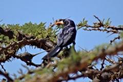 AbyssinianScimitarbill - Uccello dal becco a scimitarra d'Abissinia