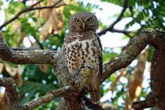 African Barred Owlet  - Civettina barrata africana