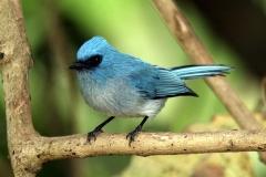 African Blue Flycatcher - Pigliamosche azzurro africano