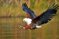 African Fish Eagle - Aquila pescatrice africana