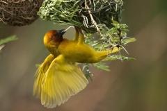 African Golden Weaver - Tessitore dorato africano