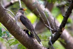 African Thrush-Great Lakes - Tordo africano