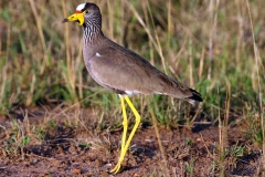 African Wattled Lapwing or Senegal Wattled Plover - Pavoncella del Senegal