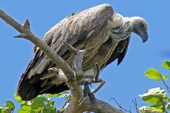 African White Backed Vulture - Grifone dorsobianco africano