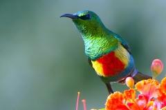 Beautiful Sunbird - Nettarinia magnifica
