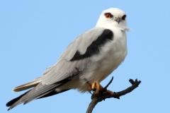 Black-winged Kite - Nibbio bianco