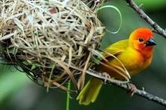 Golden Palm Weaver - Tessitore dorato delle palme