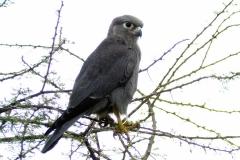 Gray Kestrel - Gheppio grigio