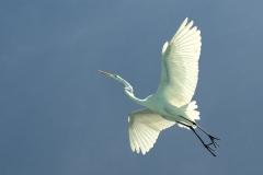 Great White Egret - Airone bianco maggiore