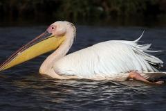 Great White Pelican - Pellicano bianco