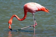 Greater Flamingo - Fenicottero rosa