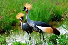Grey Crowned Crane - Gru coronata grigia