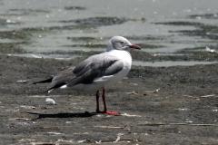 Grey-headed Gull - Gabbiano testagrigia
