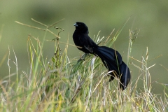 Jackson's Widowbird - Vedova di Jackson