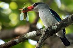 Mangrove Kingfisher - Martin pescatore africano delle mangrovie