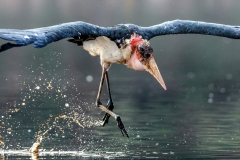Marabou stork - Cicogna Marabù africana