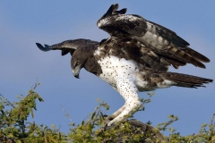 Martial Eagle - Aquila marziale