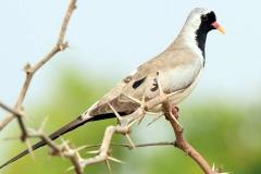Namaqua Dove - Tortora del Namaqua