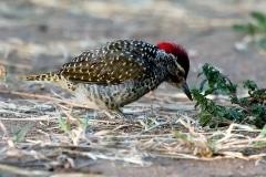 Nubian Woodpecker - Picchio nubiano