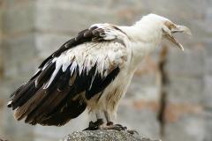 Palm nut Vulture - Avvoltoio delle palme