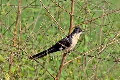Pied Cuckoo or Jacobin Cuckoo or Black and White Cuckoo - Cuculo bianco e nero