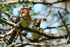 Red and yellow Barbet - Barbuto testarossa del Kenia