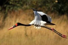 Saddle Billed Stork - Cicogna becco a sella africana o Mitteria del Senegal