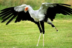 Secretary bird - Uccello Serpentario o Segretario