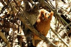 Sokoke Scops Owl - Assiolo di Sokoke o Gufo di Sokoke