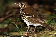 Spotted Ground Thrush - Tordo maculato