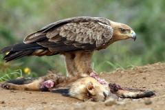 Tawny Eagle - Aquila rapace