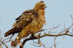 Wahlberg's Eagle - Aquila di Wahlberg