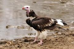 White headed Vulture - Avvoltoio testabianca
