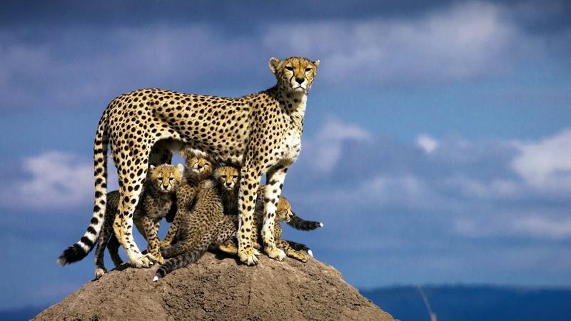 Ghepardo ed i suoi piccoli