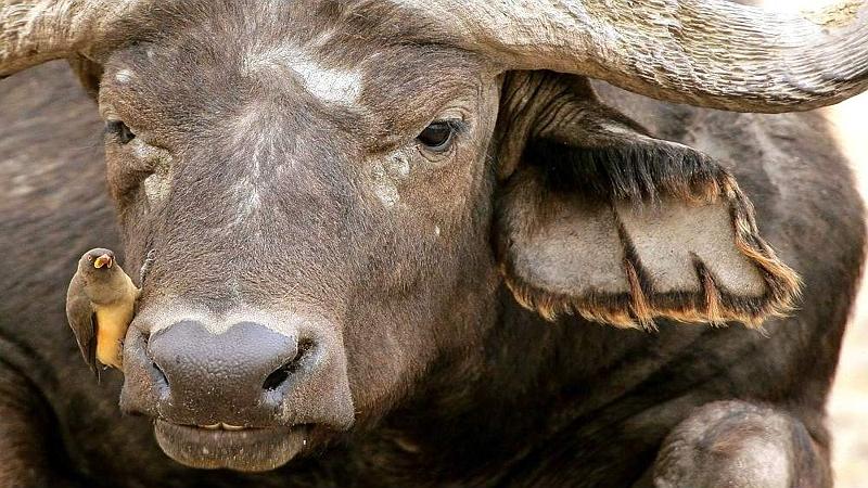 Bufalo con una bufaga