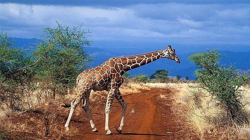 Giraffa reticolata.