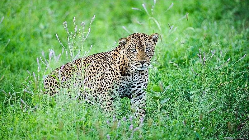 Leopardo. Parco Nazionale Meru