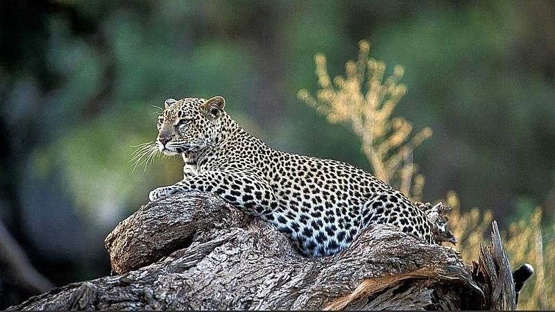 Leopardo. Riserva Nazionale Samburu