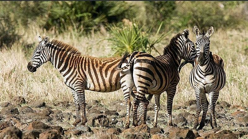 Zebre di Burchell
