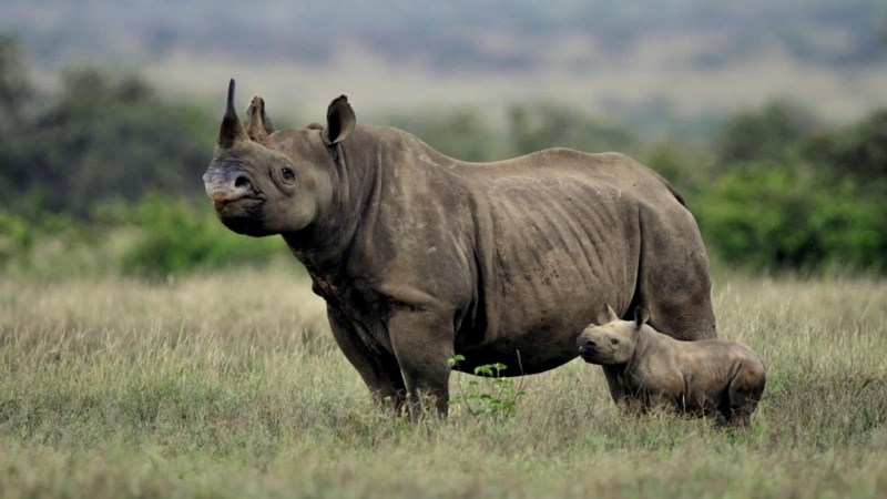 Rinoceronti al Nakuru Park
