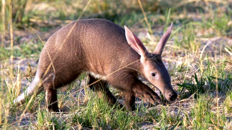 Oritteropo-Kenya