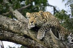 Leopardo africano-Kenya