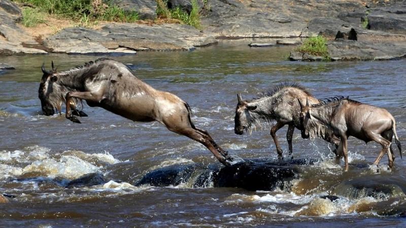 Gnu attraversano il fiume Mara