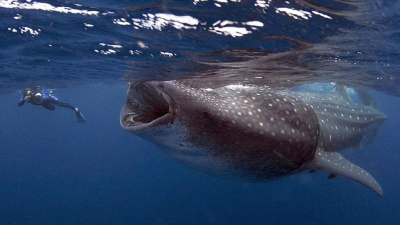 Immersioni con lo squalo balena