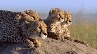 Ghepardi-Riserva Masai Mara. Vacanze e Turismo in Kenya