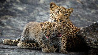 Leopardi-Riserva Masai Mara
