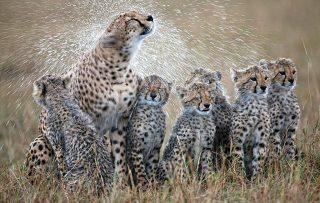 Ghepardi-Riserva Masai Mara Kenya
