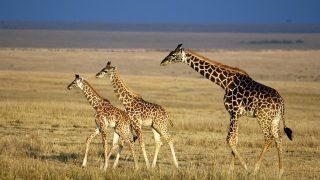 Giraffe del Kilimanjaro